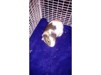 20wk old Guinea pig