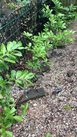 Laurel hedging x9 approx 4ft each