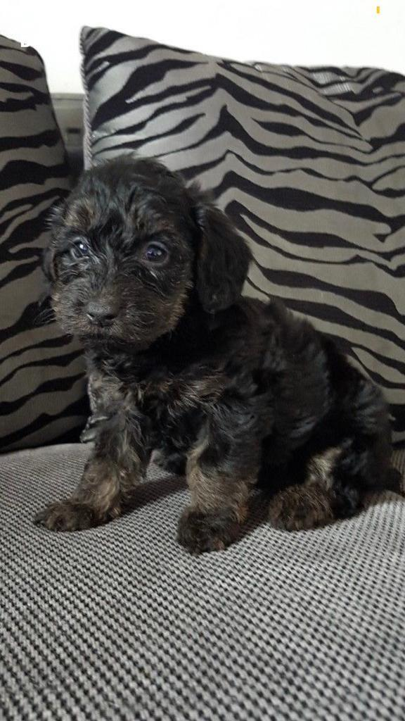 Yorkiepoo Puppies Only 2 Girls Left In Brinsworth South
