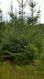 Real Christmas trees,norway spruce,nordmann etc