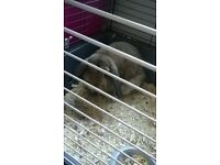 large french lop bunny