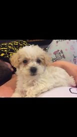 Poodle x jackrussell