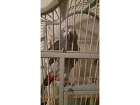 African grey for sale, just turned 1 very tame and started to talk