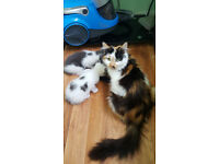 BEAUTIFUL MAIN COON LAST ONE FOR GOOD HOME ONLY £75