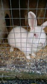 Females rabbit