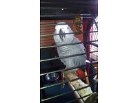 African gray female 16mth old