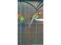 rosellas , two male rosella parrots