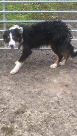 10 month old pedigree registered border collie