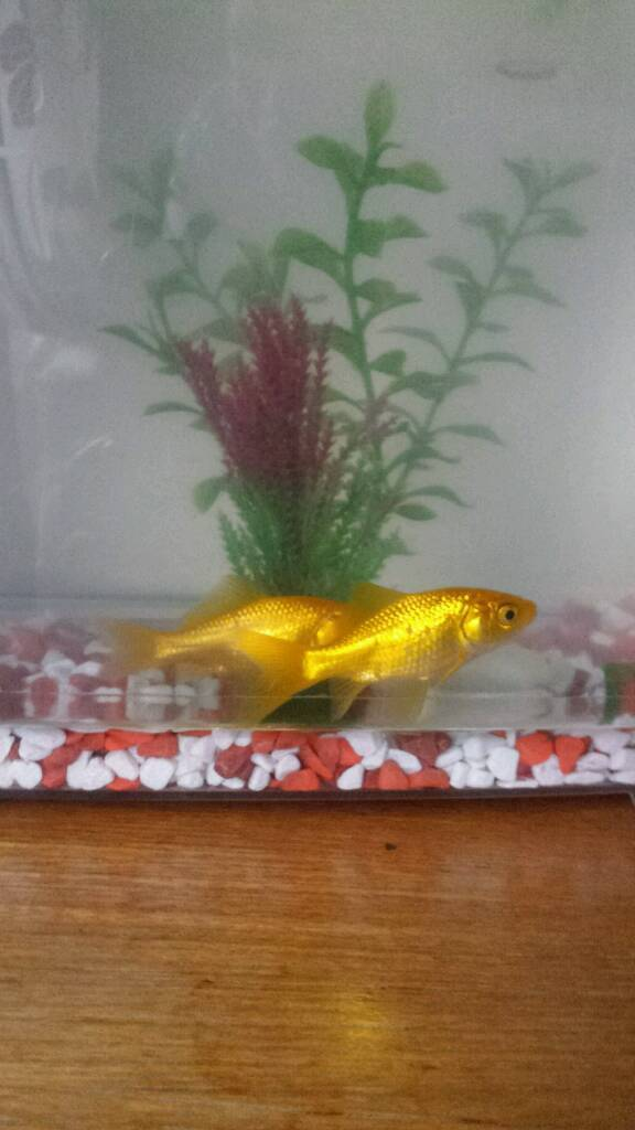 Fish Tank With 2 Gold Fishes Plus Food Etc