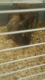 Lopeared rabbit 7 month in door cage pet carrier betting food. And lead