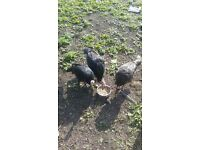 Healthy free range turkeys