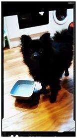 Pomeranian, 7 mths old, KC Registered, Bitch