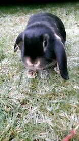 Mini lop rabbit for sale in Evesham Worcestershire