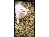 Persian cat white Missing