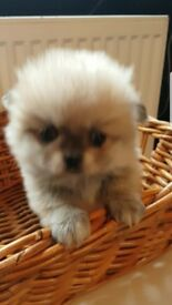 Pomeranian puppies boy and girl very cute