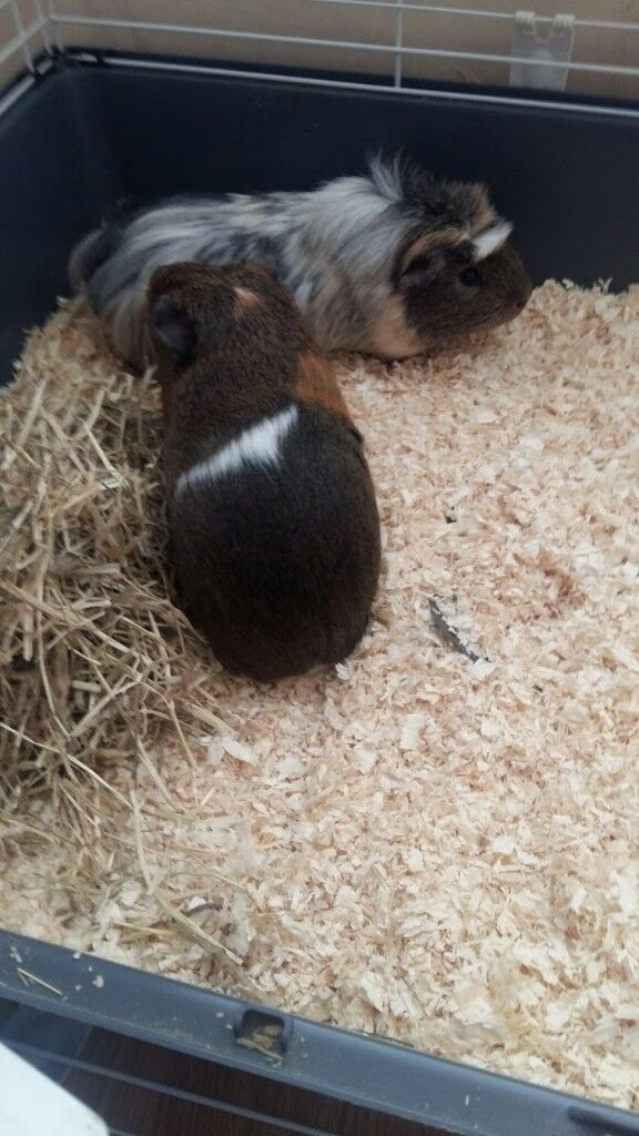 2 male brother Guinea pigs 10 months old