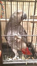 AFRICAN GREY PARROT (FEMALE)