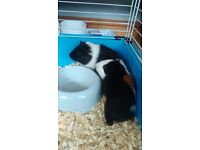 Two male ginuea pigs