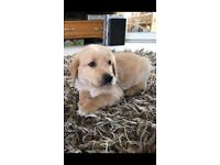 Golden retriever /lad goldador puppies