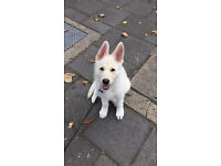 Beautiful 4 month old german shepherd for sale