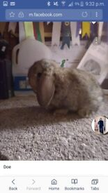 French lop babies