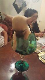 Chiuaua puppy