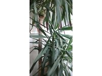 Yucca plant for sale