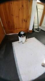 Full pedigree Shitzu pup