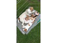 Jack Russel x Lakeland pups