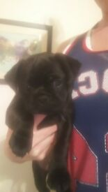 Beautiful pug cross jack pups. 7/8ths pug