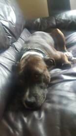 Brindle and white staffy for sale