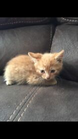 Ginger kitten ready for a new home (MALE)