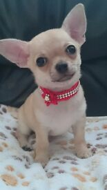 Chihuahua puppys for sale ! non kc