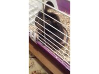 1 year old guinea pig looking for a lovely new home.