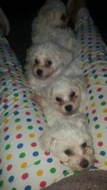 Bichon frise puppies (stoke on trent) United kingdom