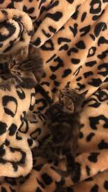 Maine Coon Cross Kitten