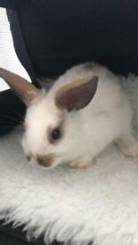 3 female baby rabbits for sale