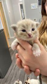 Genuine ragdoll girl/ boy mink kittens