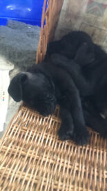 Two Patterdale dog pups for sale, both pups have been sold