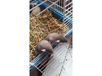 Baby Russian blue dumbo rats 2 x £20