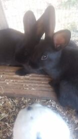 Baby black rabbits for sale
