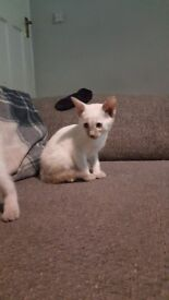 5 Beautiful siamese kittens for sale for a forever home.