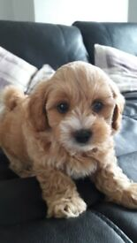 MALSHIPOO PUPS also known as TEDDY BEAR DOGS or DAISY DOGS