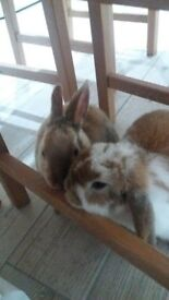 Two male rabbits, immunised, microchipped, come with hutch and other accessories