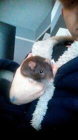 Female rats
