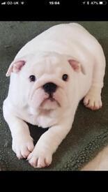 British Bulldog Male Puppy