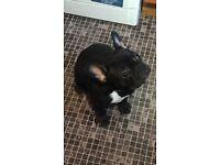 KC REGISTERED FRENCH BULL DOG