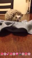 FEMALE HEDGEHOG w/ large cage and accessories