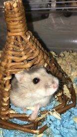 4.5month old dwarf male hamster