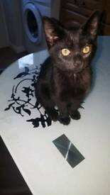 Fully black kitten for sale